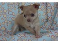 A wonderful and lovely babies Chihuahua lovely homee